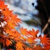 red_maple_leaf_tochigi