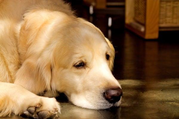 処置が行われる犬